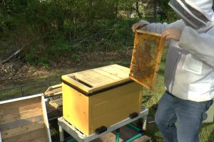 Moving honey bee frame with bees to a new hive.
